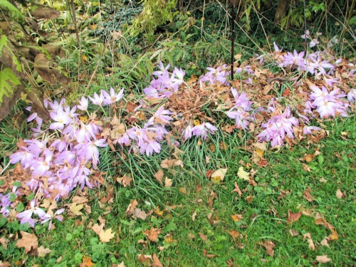 Here's a closeup of those colchicums in the lilac-forsythia hedge.