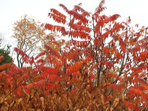 Native sumac, planted by birds