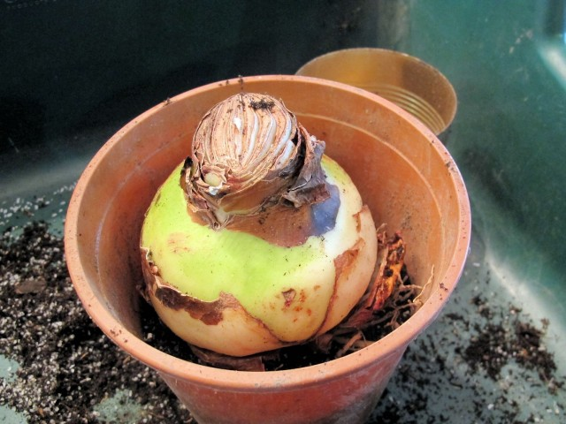 one amaryllis bulb from Longfield Gardens in pot