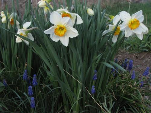 orange cupped daffodils