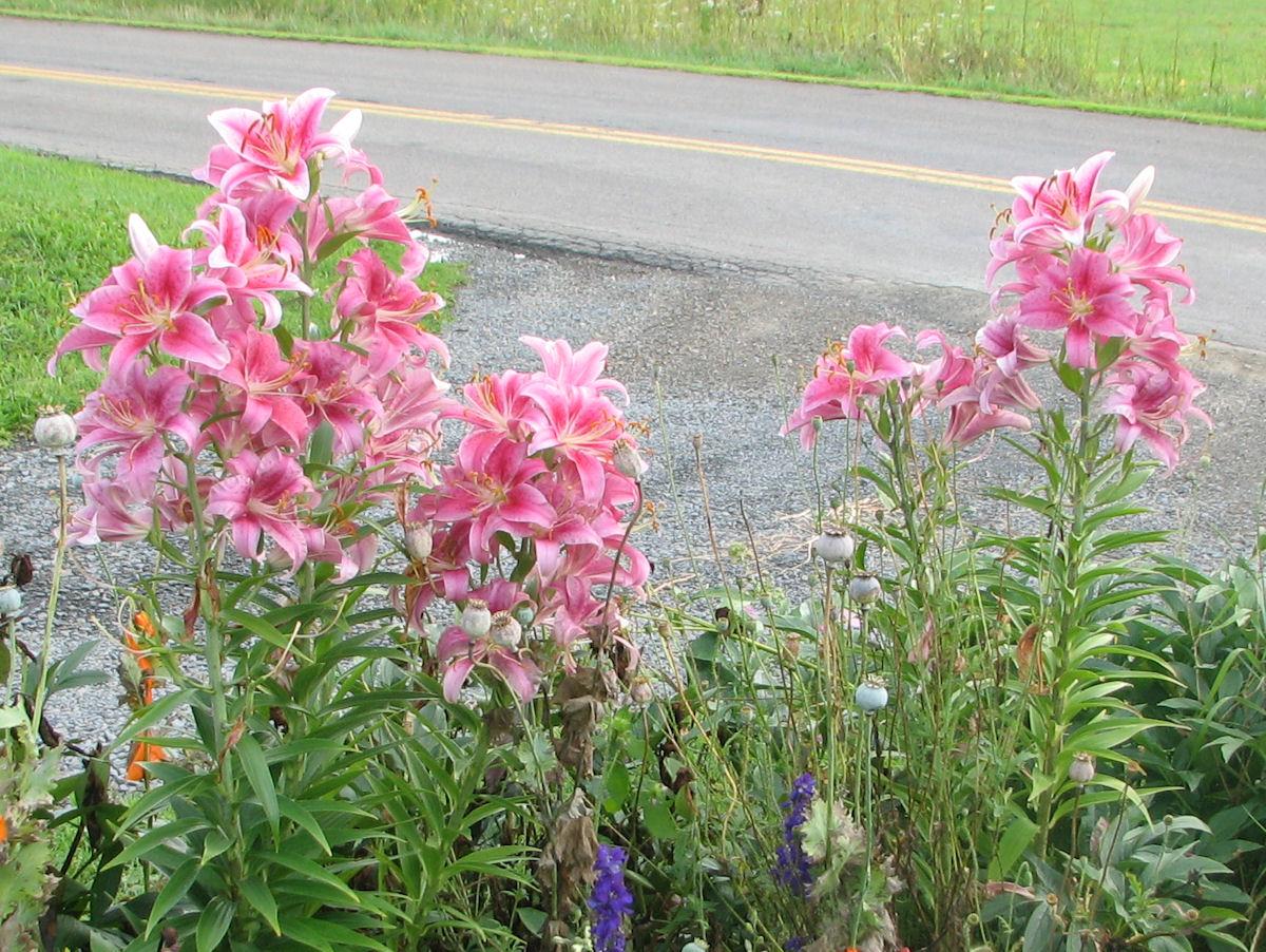 Garden Bloggers Bloom Day August 2009