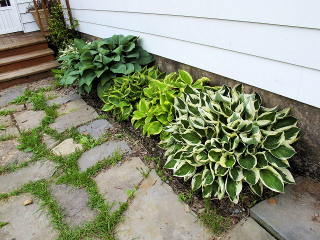 Original hosta planting of herb bed