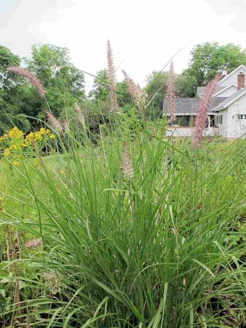 unidentified ornamental grass