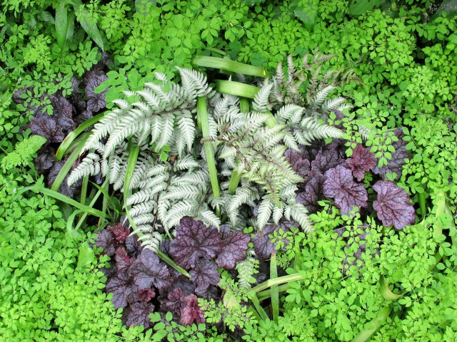 Japanese painted fern and 'Grape Expectations' heuchera