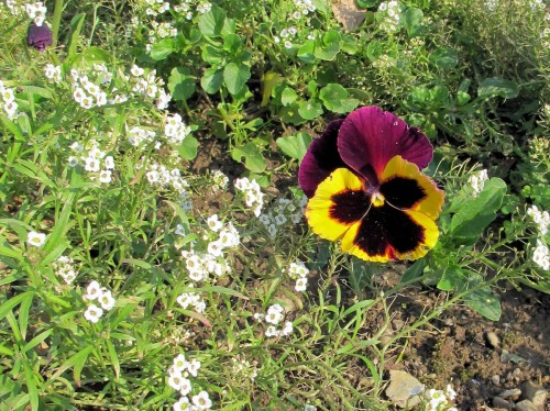 Pansy  with alyssum