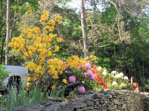 spring-blooming azaleas and rhododendrons