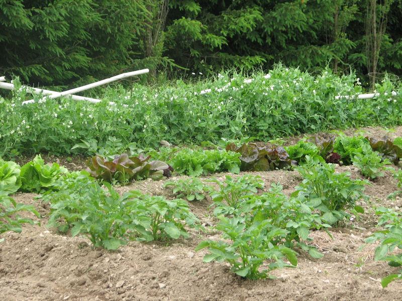 ordinary bush peas Part - 4: ordinary bush peas nice ideas