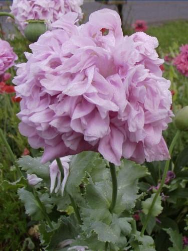 Peony poppy from 2003