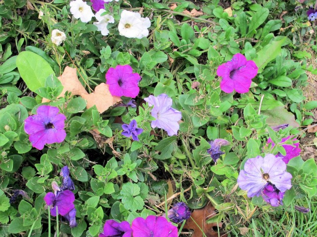Self-sown petunias