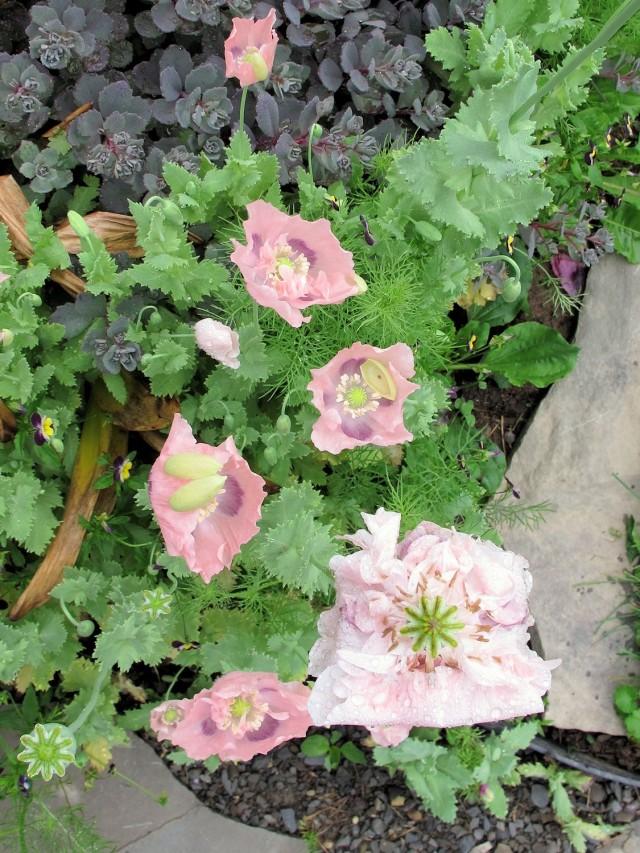 pink breadseed poppies dusky sedum