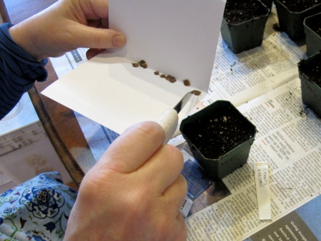 arranging seeds on top of the soil surface