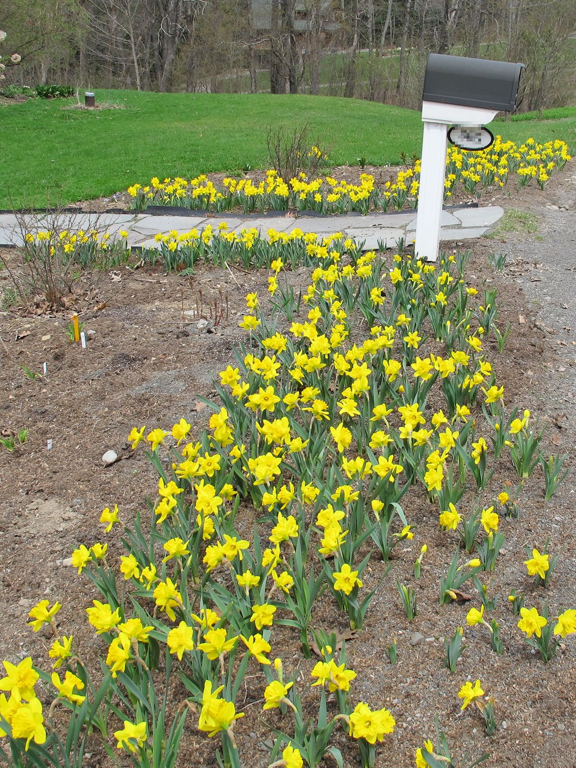 The Crazy Gardener S Way To Plant Daffodils