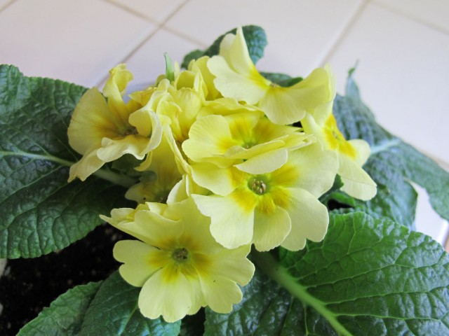 Pale yellow primrose