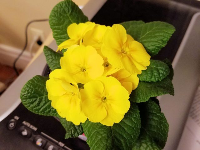 primrose from store