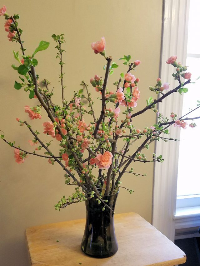 flowering quince forced indoors