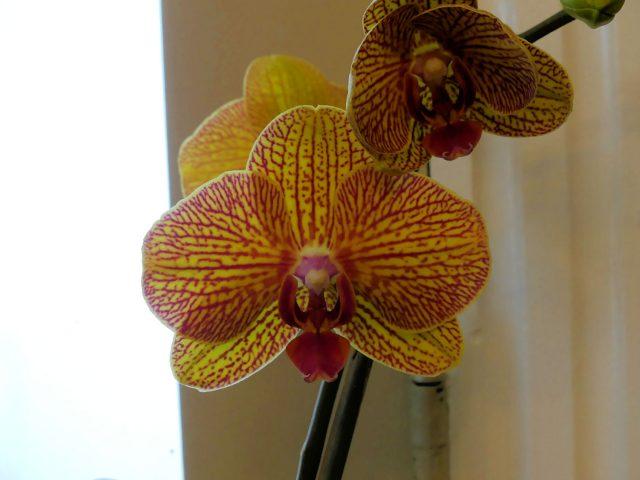 reblooming orchid
