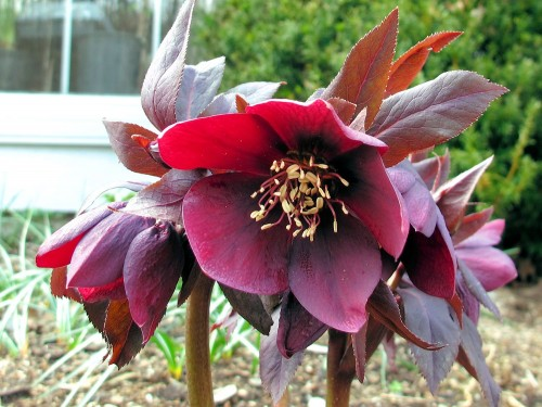 This red hellebore blooms in April.