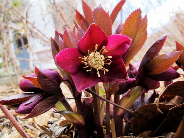Unnamed red hellebore from a friend