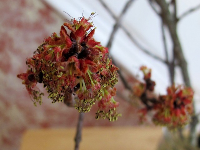 Red maple flower, close up