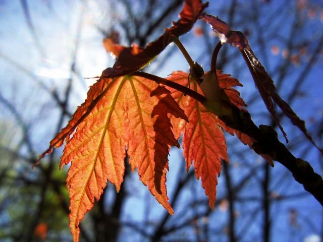 red maple leaves backlit