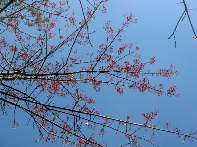 red maple samaras on tree
