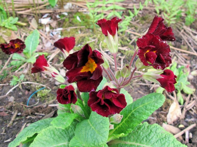 deep red primrose (primula)