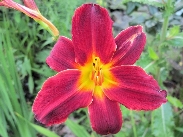 unknown red daylily