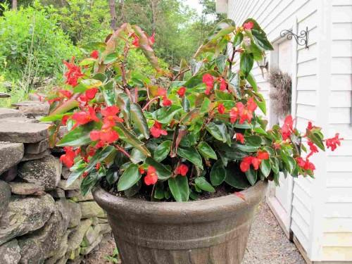 Red Dragonwing begonia