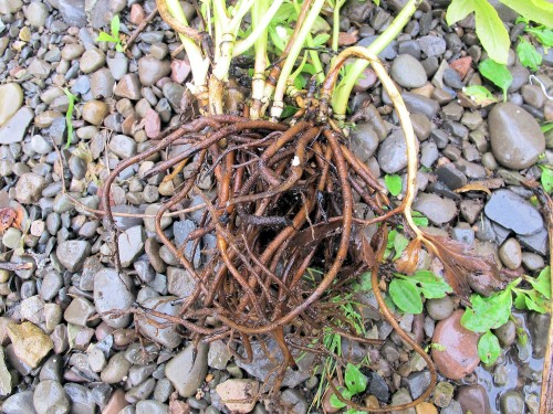 bare root hellebore