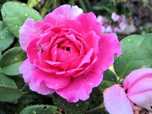 warm pink rose