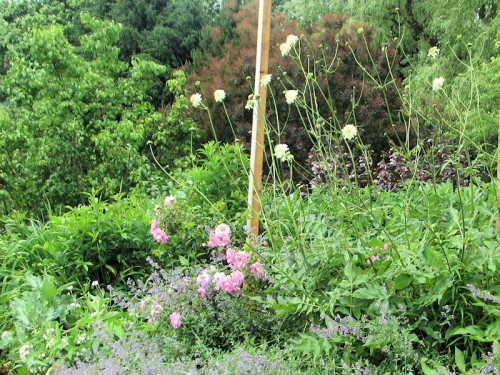 grouping of pink rose, blue catmint, and pale yellow cephalaria