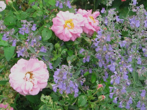 Cape Diamond rose surrounded with catmint