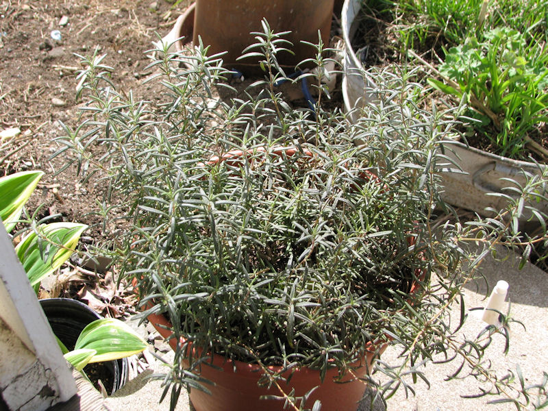 Keeping Rosemary Alive Indoors