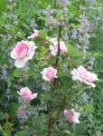 pink roses and catmint (nepeta)