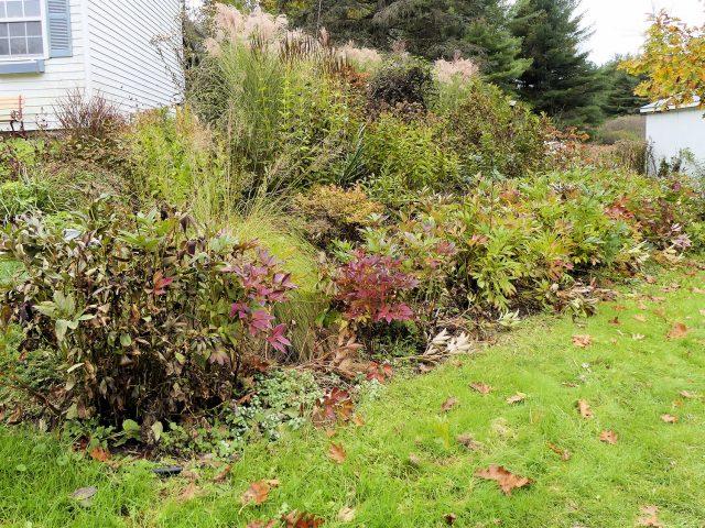 row of peony foliage