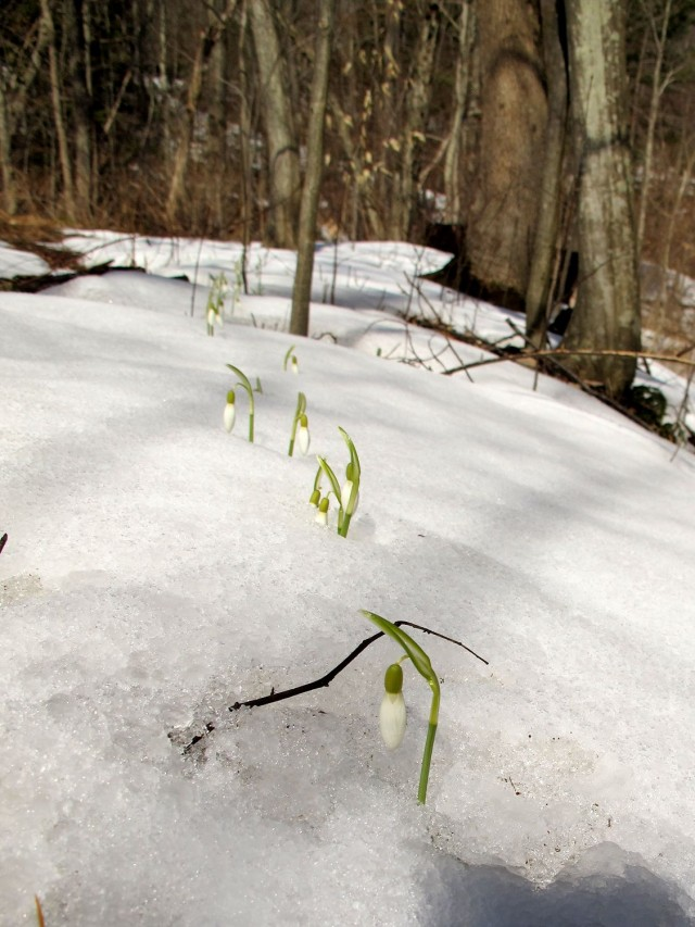 row of snowdrops peeking over the snow