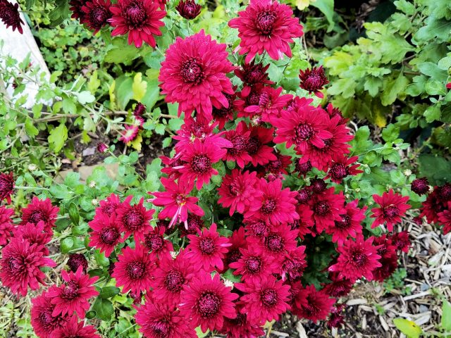 'Ruby Mound' chrysanthemum
