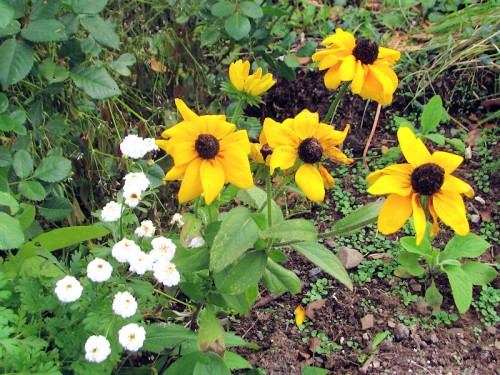rudbeckia and feverfew