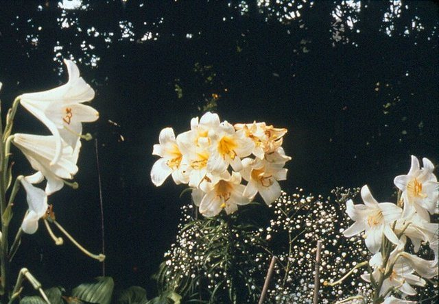 Lilium regale and Lilium candidum
