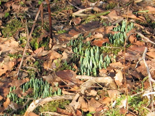 Snowdrops emerging in January