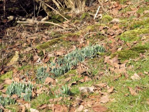 secret_garden_snowdrops Galanthus nivalis