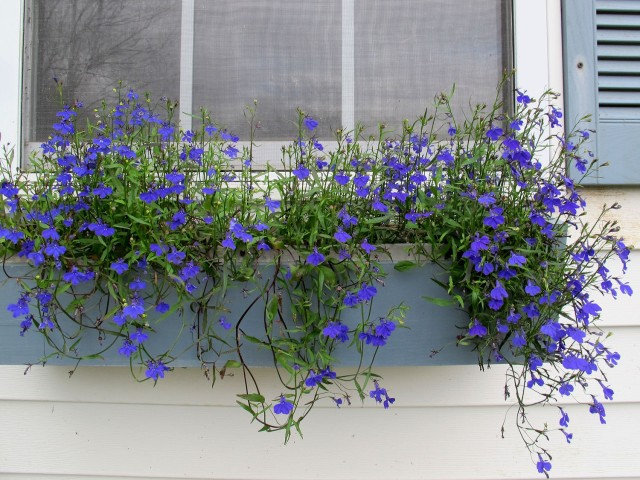 seed grown lobelia