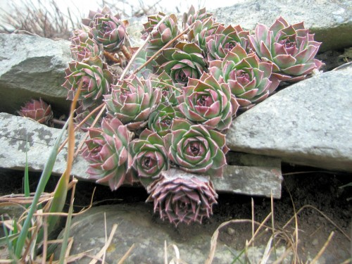 Hens-and-chicks (Sempervivums) in the stacked stone retaining wall of the Birthday Garden. March 10, 2009.