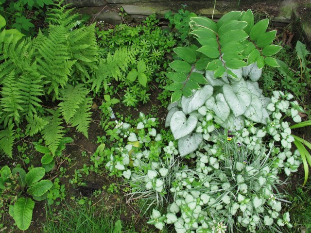 Silver plants and ferns in shade