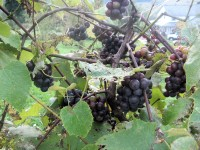slip-skin grapes
