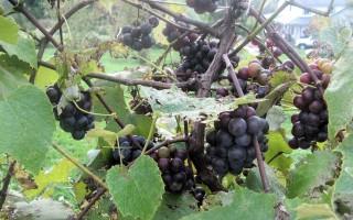 slip-skin grapes