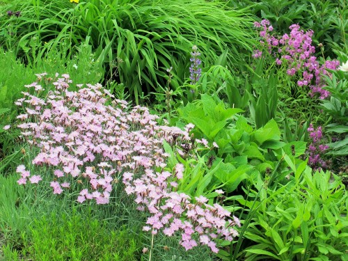Pinks and phlox in a garden
