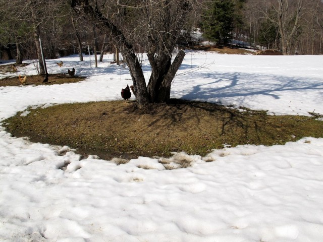 Snow melting around tree