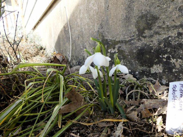 'S. Arnott' snowdrops