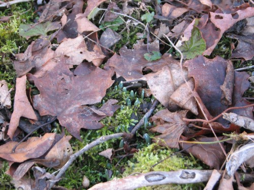 image of snowdrops emerging from the earth